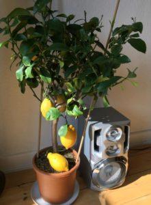 Im Winter ist der Zitronenbaum drinnen besser aufgehoben