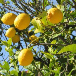 Sauer macht lustig – vor allem mit einem eigenen Zitronenbaum